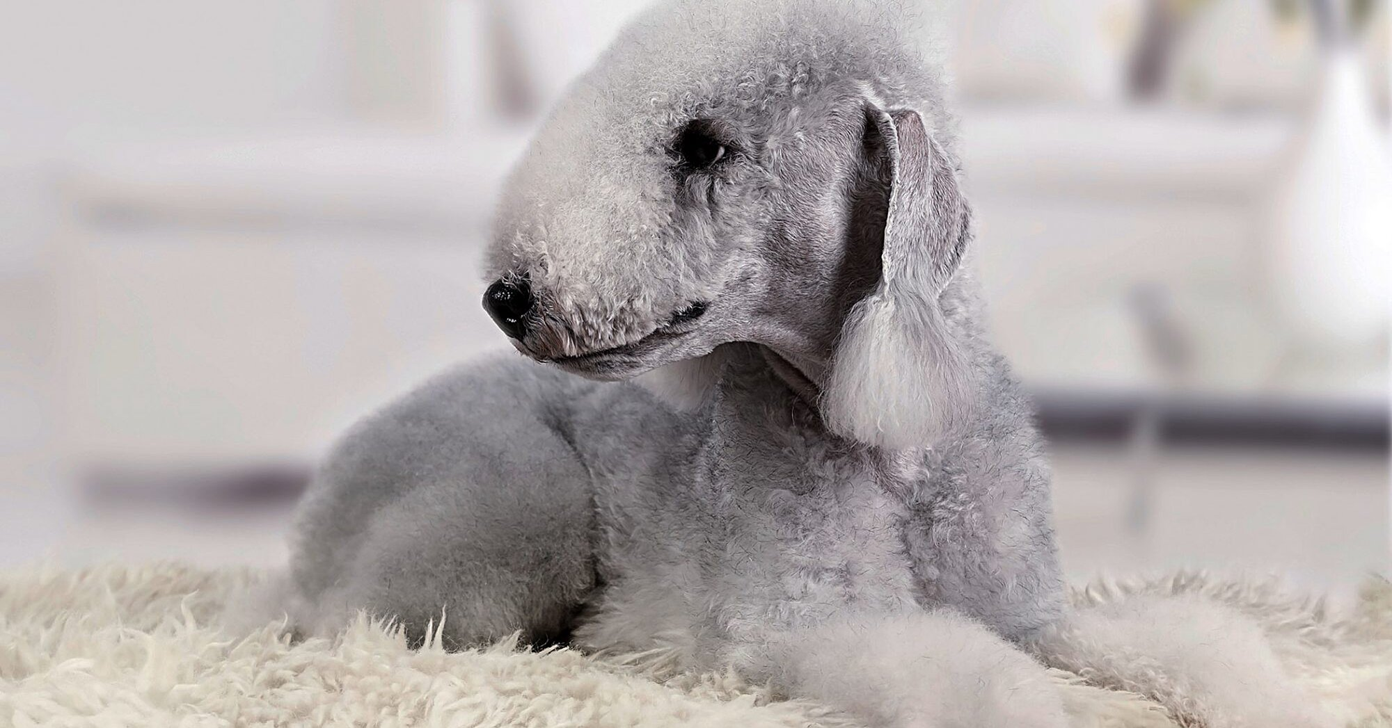 20 Dog Breeds That Don't Shed (Much)