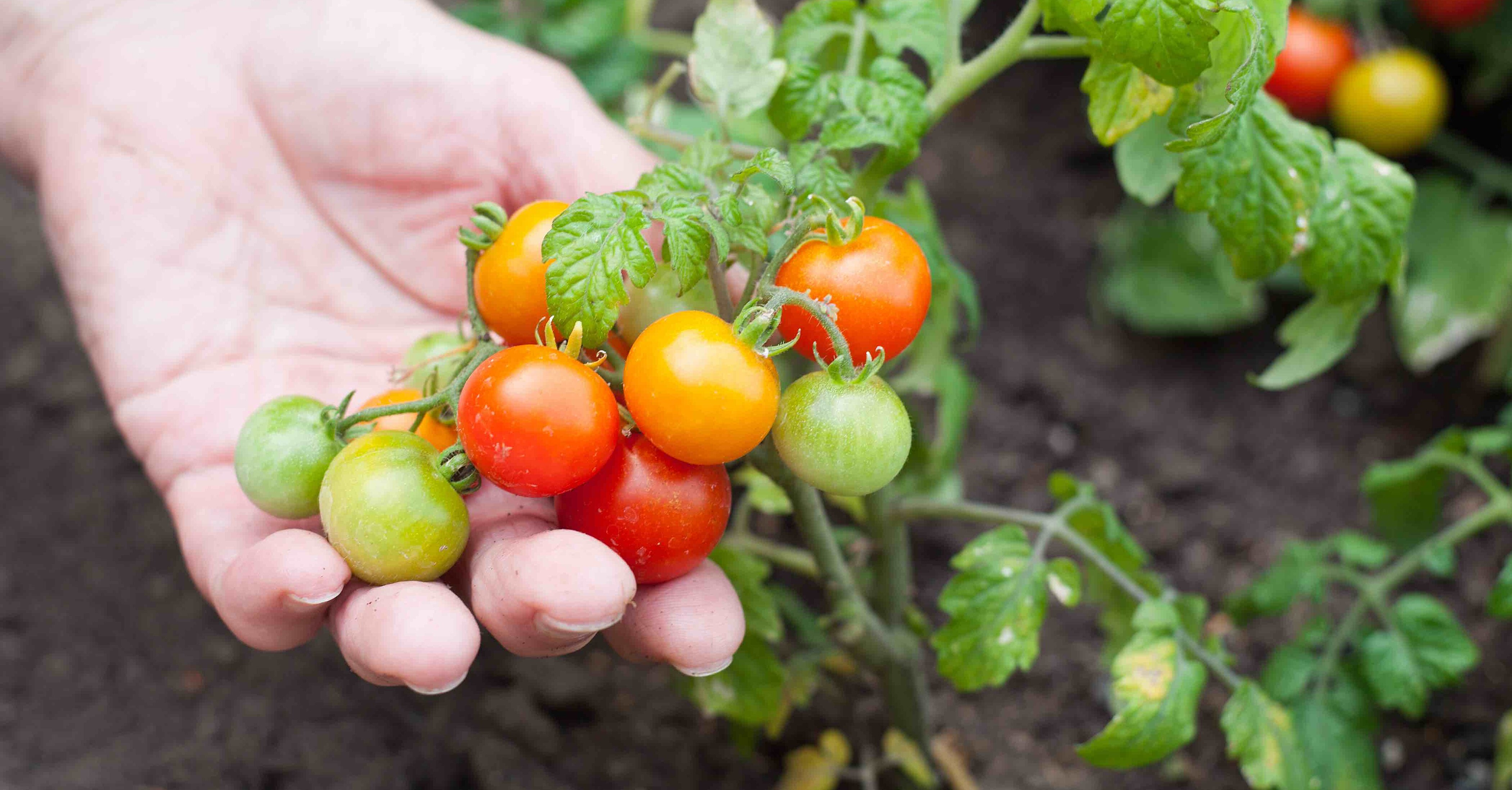 How to Prune and Maintain Your Tomato Plants