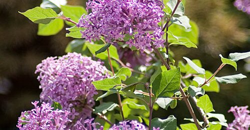 Blimey This New Lilac Takes The Heat Southern Living