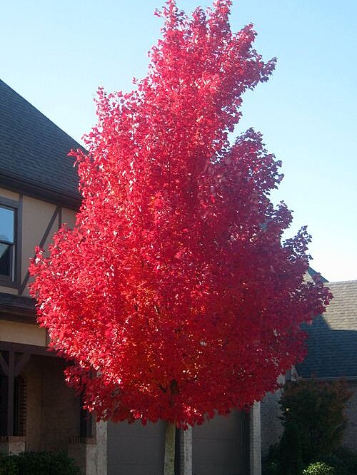 Shade Tree Of The Week October Glory Red Maple Southern Living