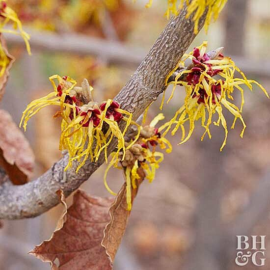 Witch Hazel Better Homes Gardens