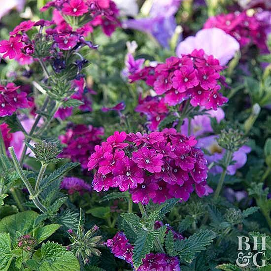 Container Annuals You Can T Kill Better Homes Gardens