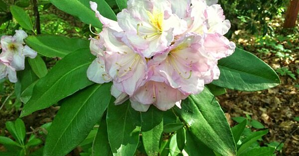 Growing Rhododendrons In The South Southern Living