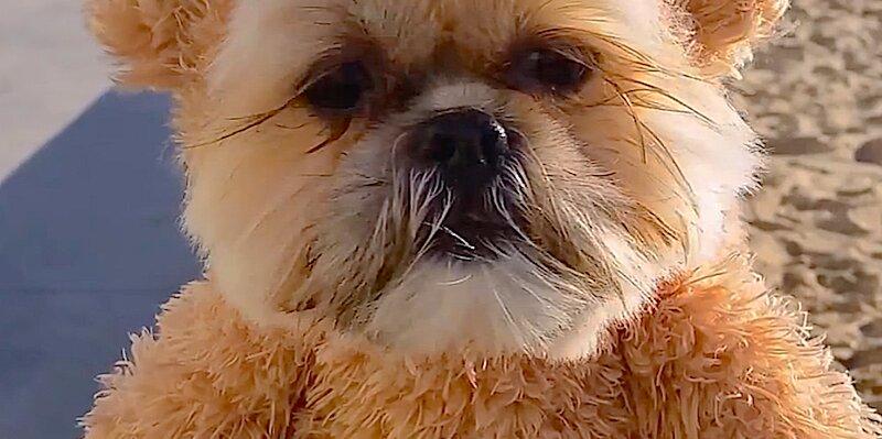 Cuteness Break: Munchkin the Shih Tzu strolls along the beach in his teddy bear costume