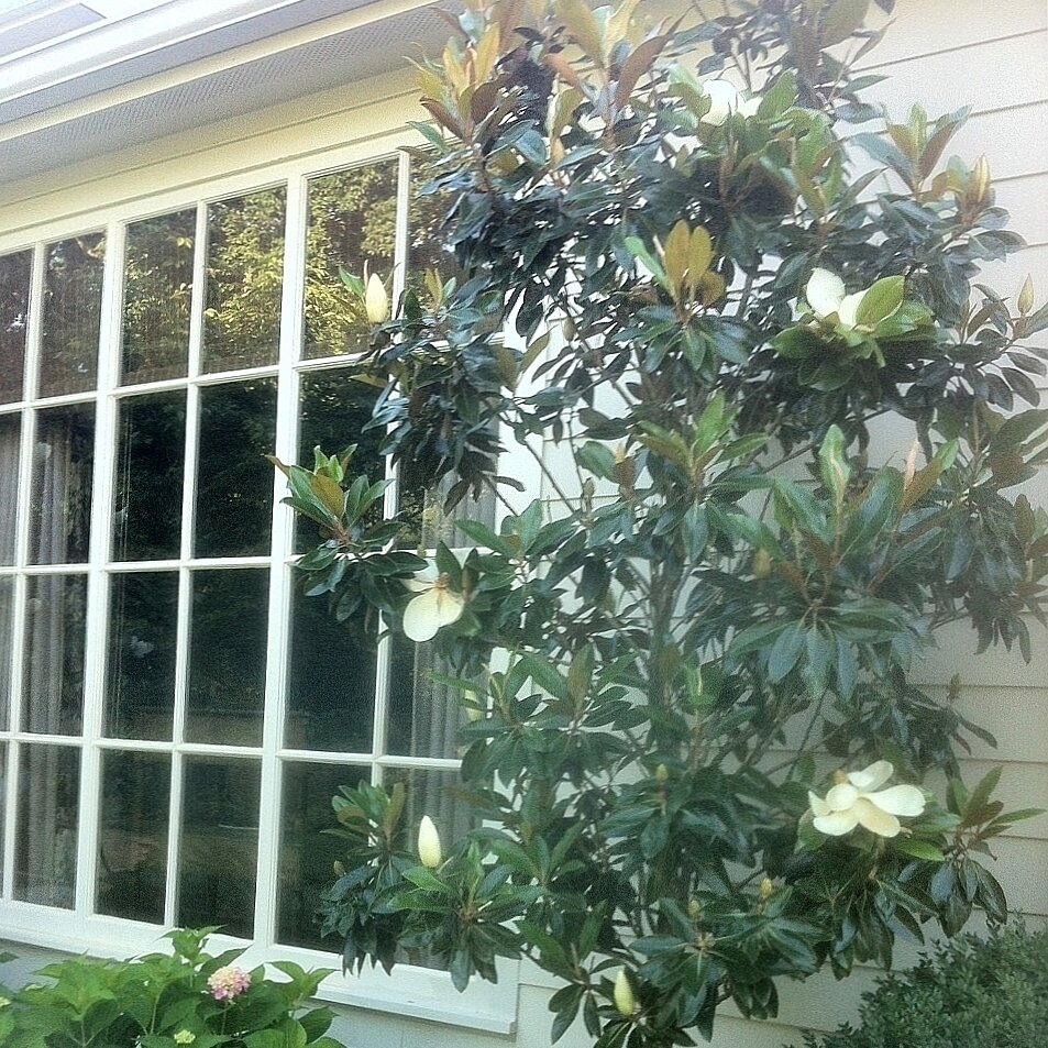 Pick The Right Magnolia Southern Living