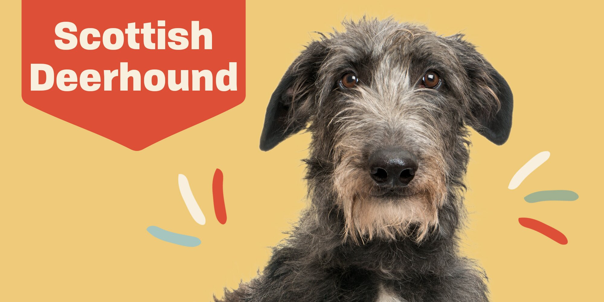 Learn All About the Scottish Deerhound