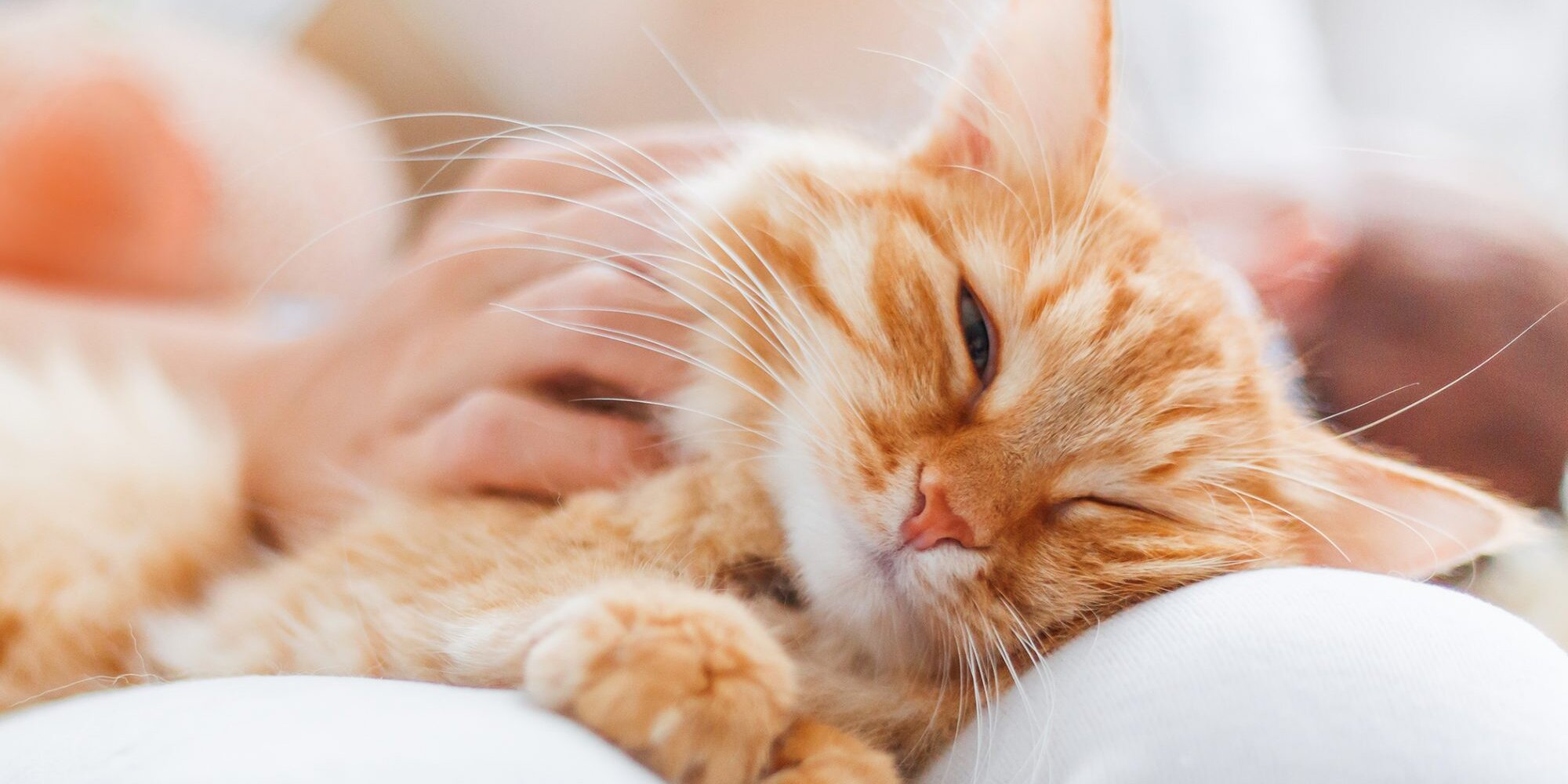 How to get a therapy cat: What Is a Therapy Cat? todocat.com