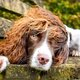 A springer spaniel is stopped in the street by people are envious of his luscious auburn locks. When Finley was a pup, he grew a mohawk overnight which seemingly got thicker and longer over the years.