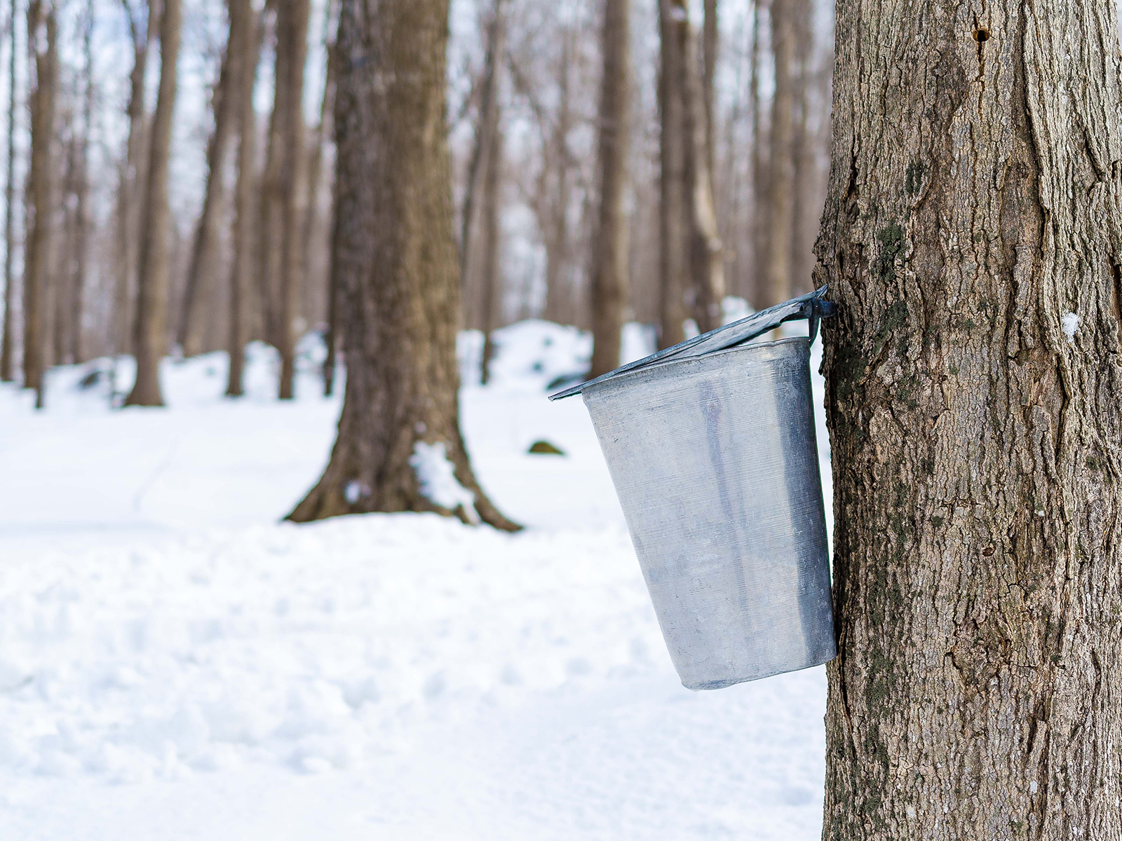 Maple Tree Sap Flowing Into Buckets