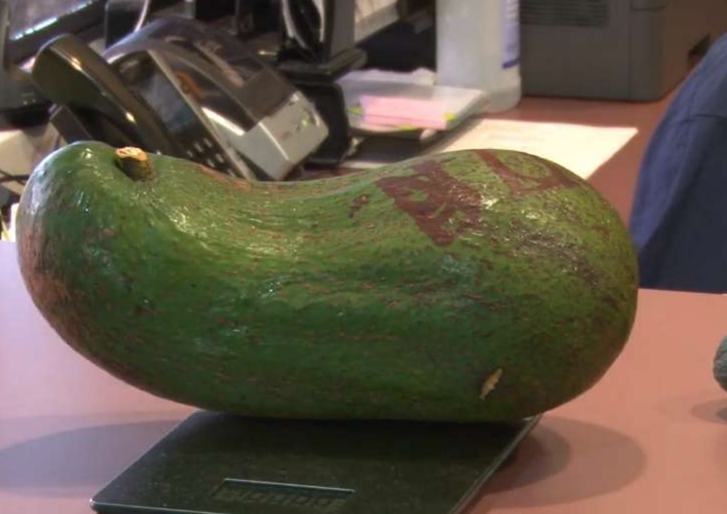 giant avocado