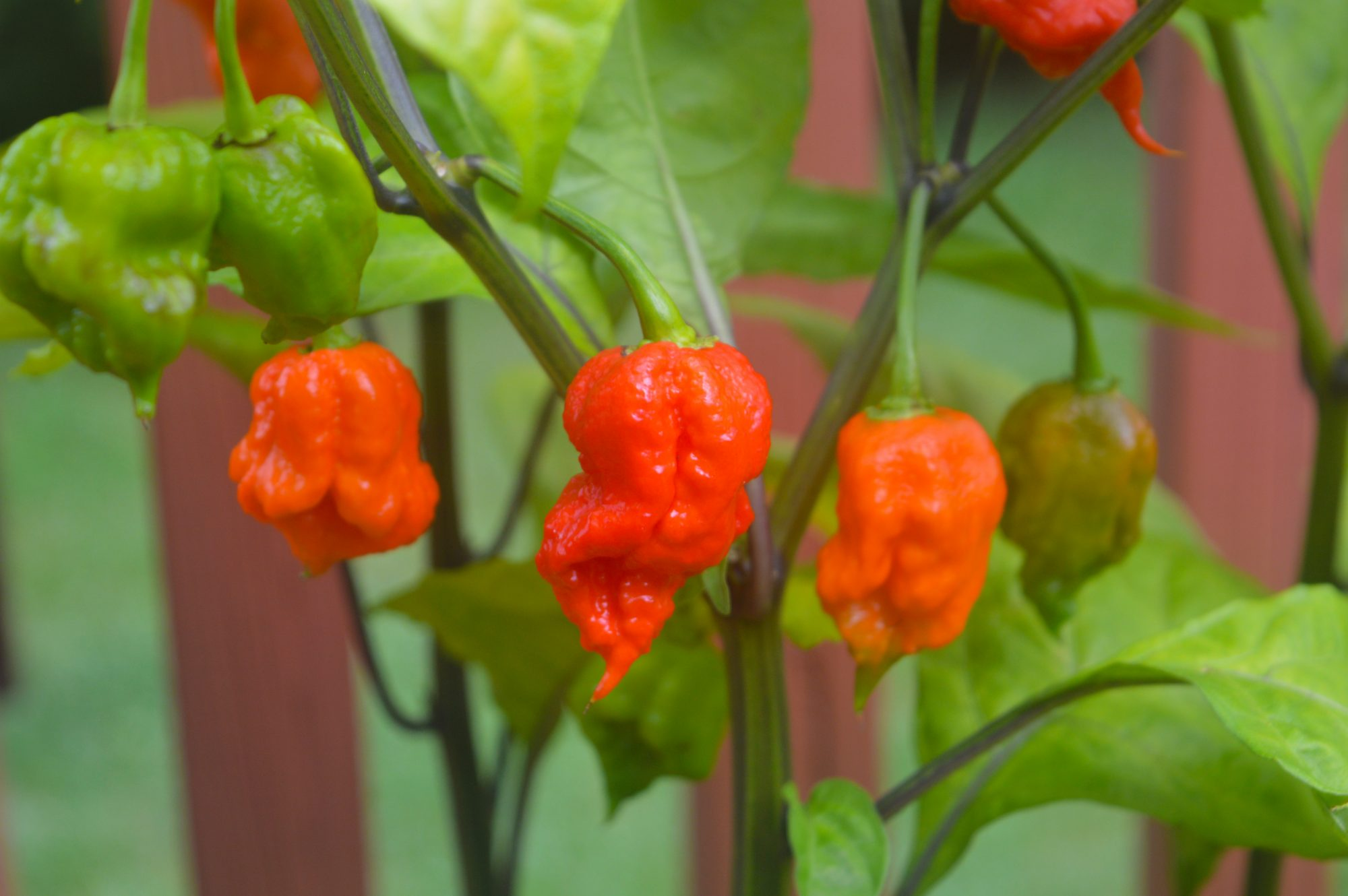 Carolina Reaper Getty 8/14/19
