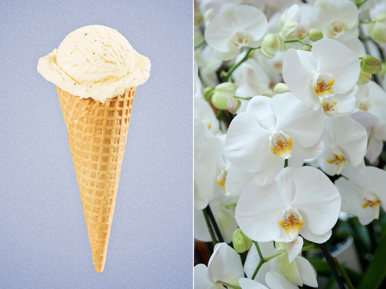 Vanilla Comes From Orchids