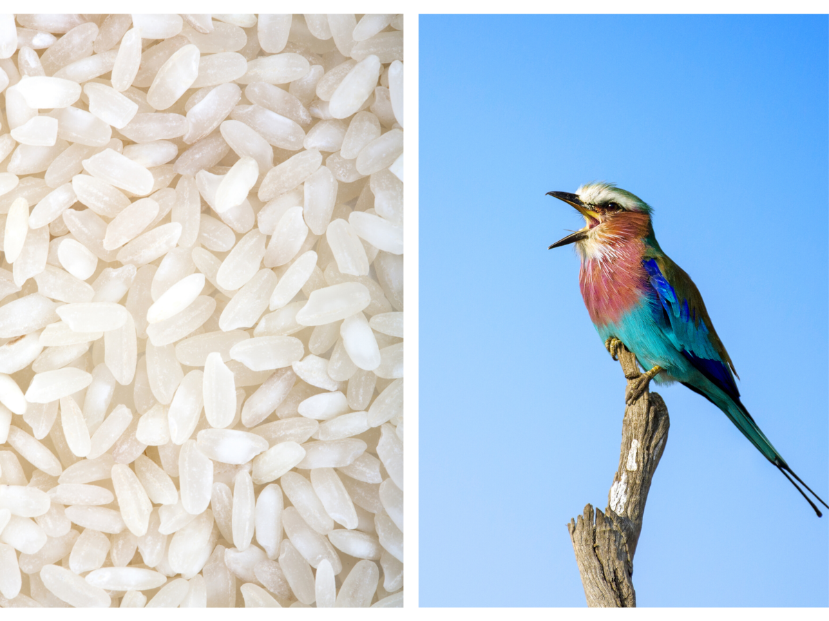 Can birds eat rice? image