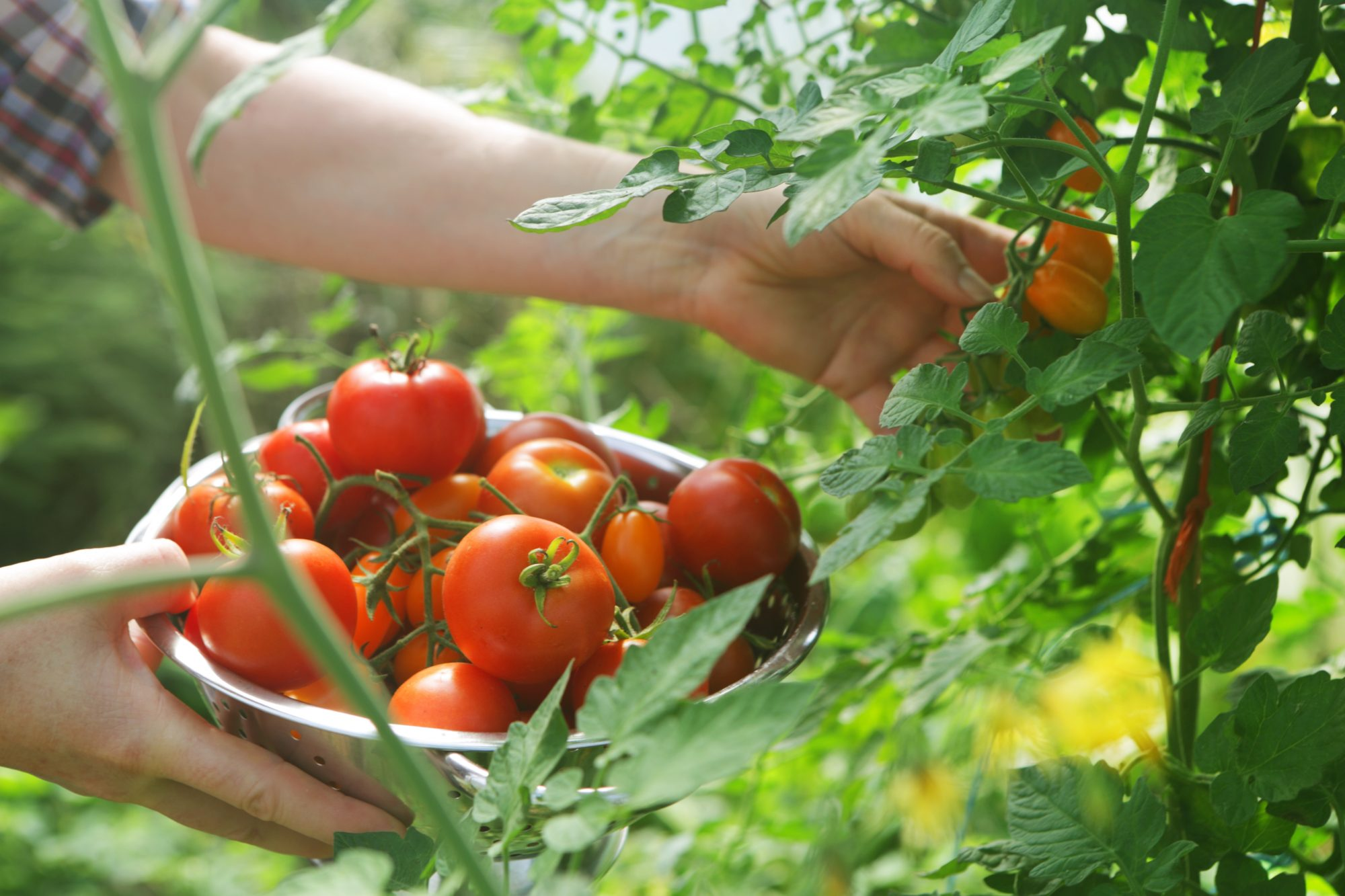 Want to Grow Tomatoes This Summer? Now's the Time to Start Planning.
