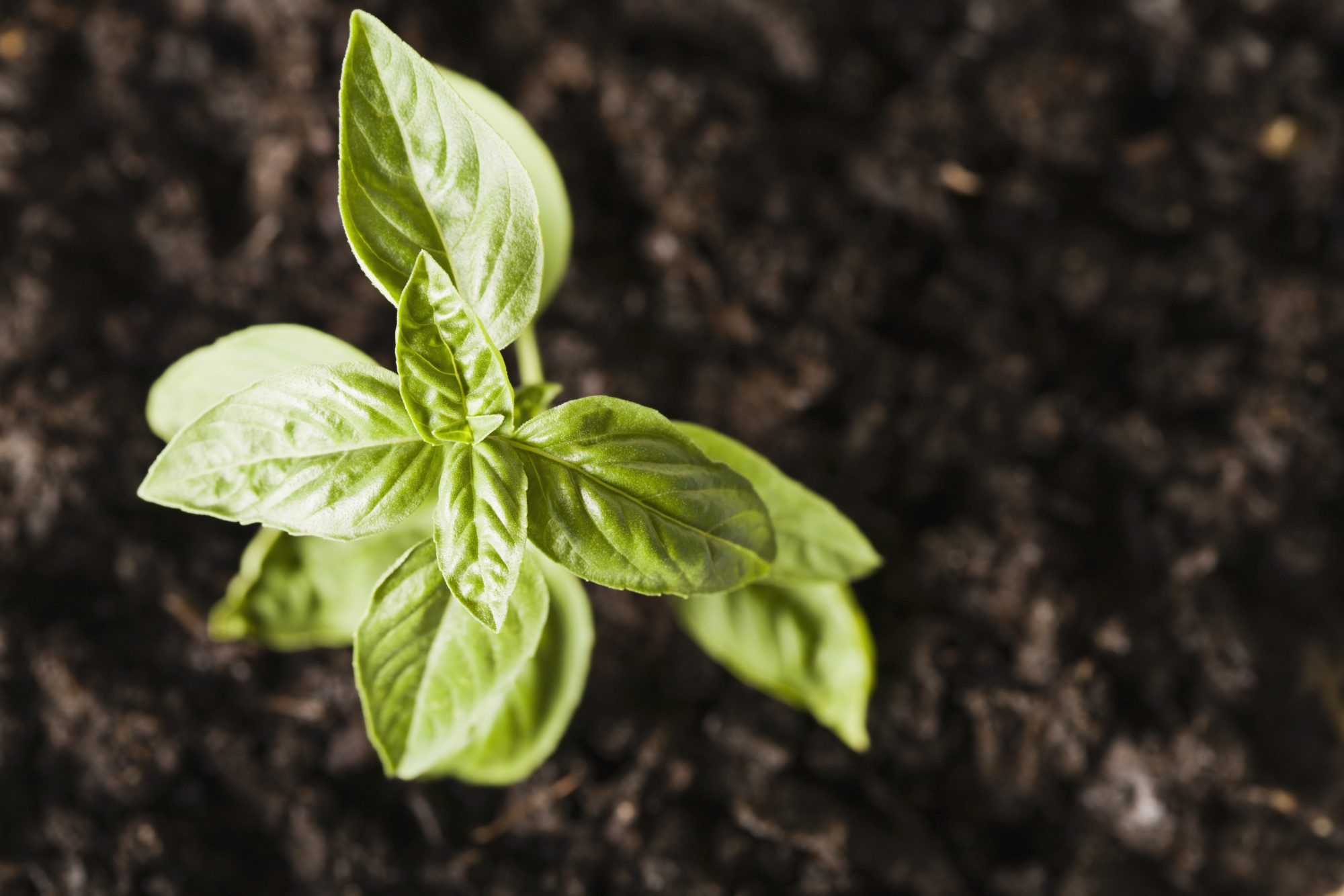 Basil in ground Getty 4/24/20