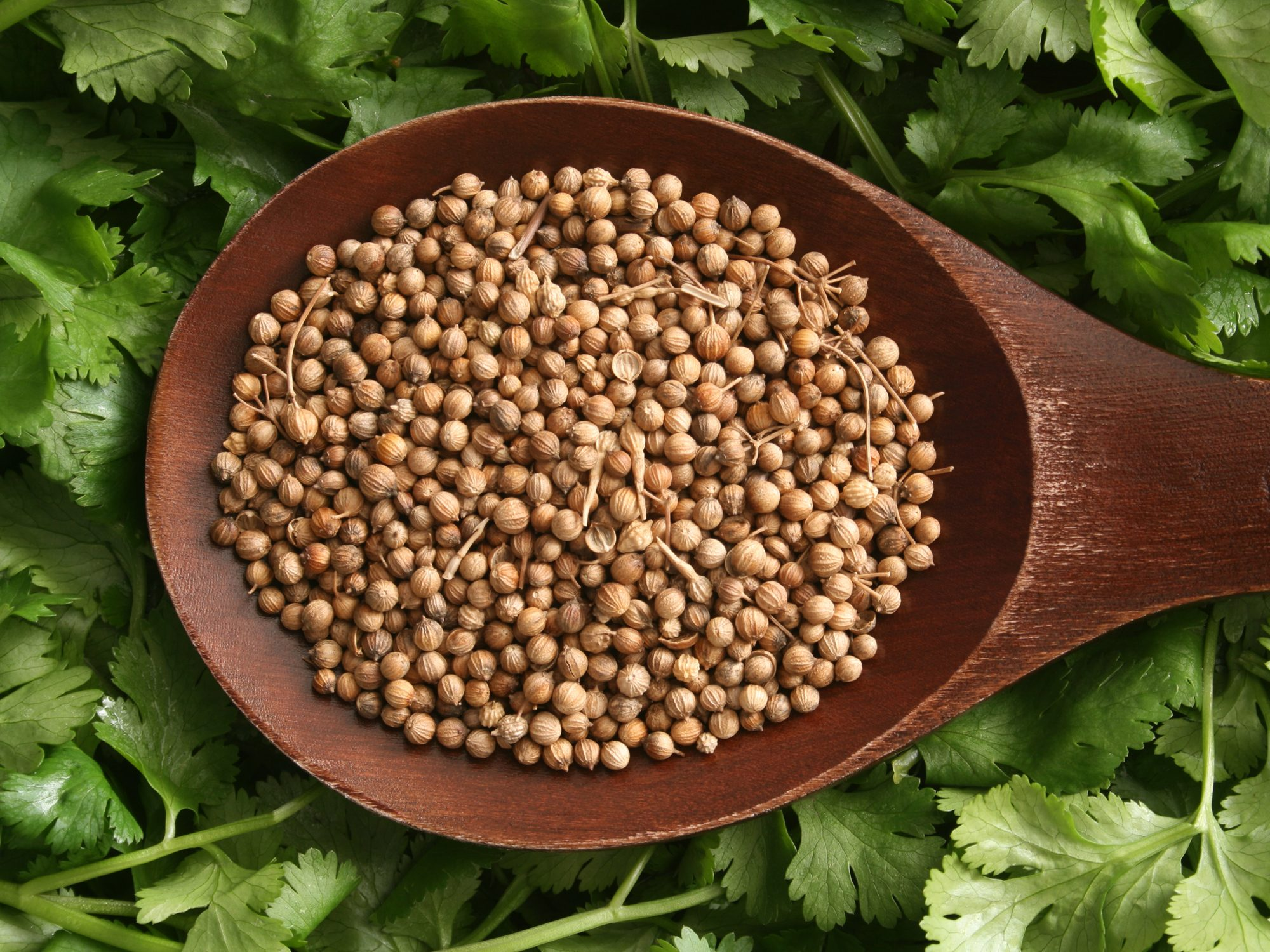 Coriander/Cilantro Getty 5/15/20