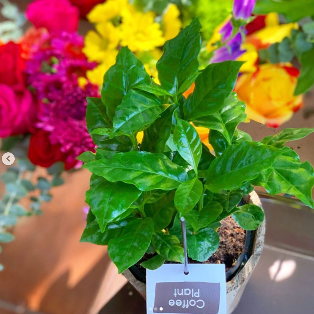 Trader Joe's Is Selling $7.99 Coffee Plants to Perk Up Your Living Space