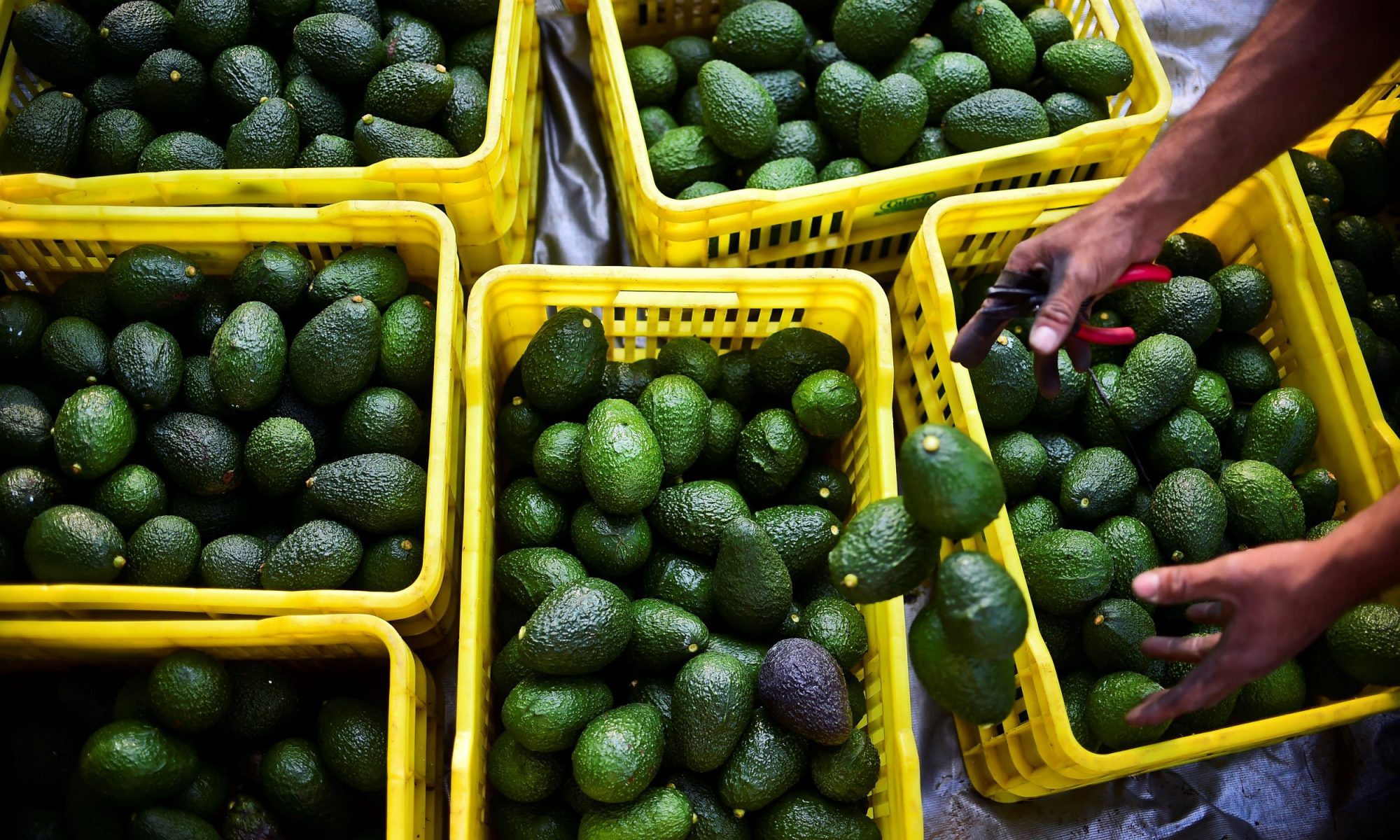 EC: Our Avocado Habit Is Destroying the Planet