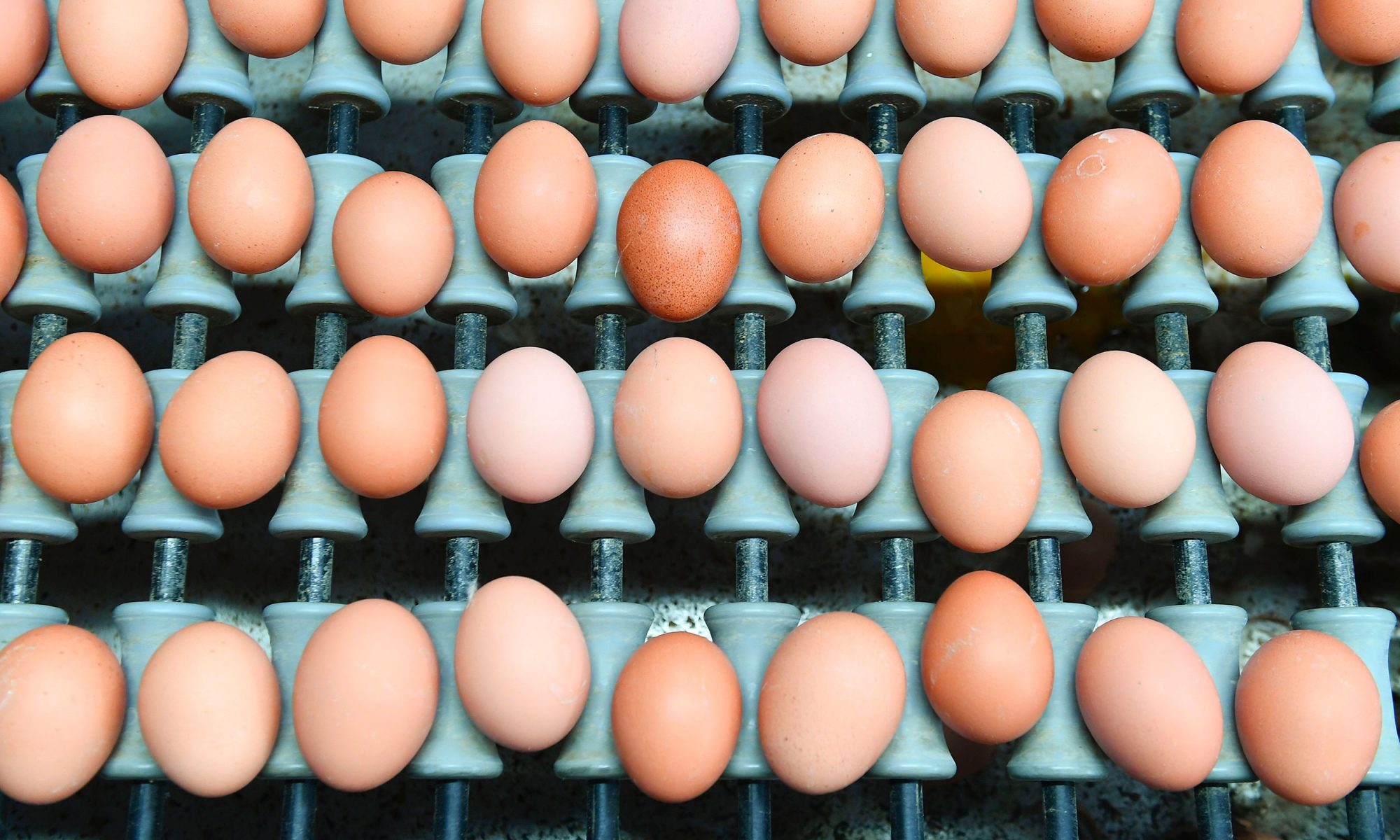 Brown eggs lined up on green packing equipment in Belgium