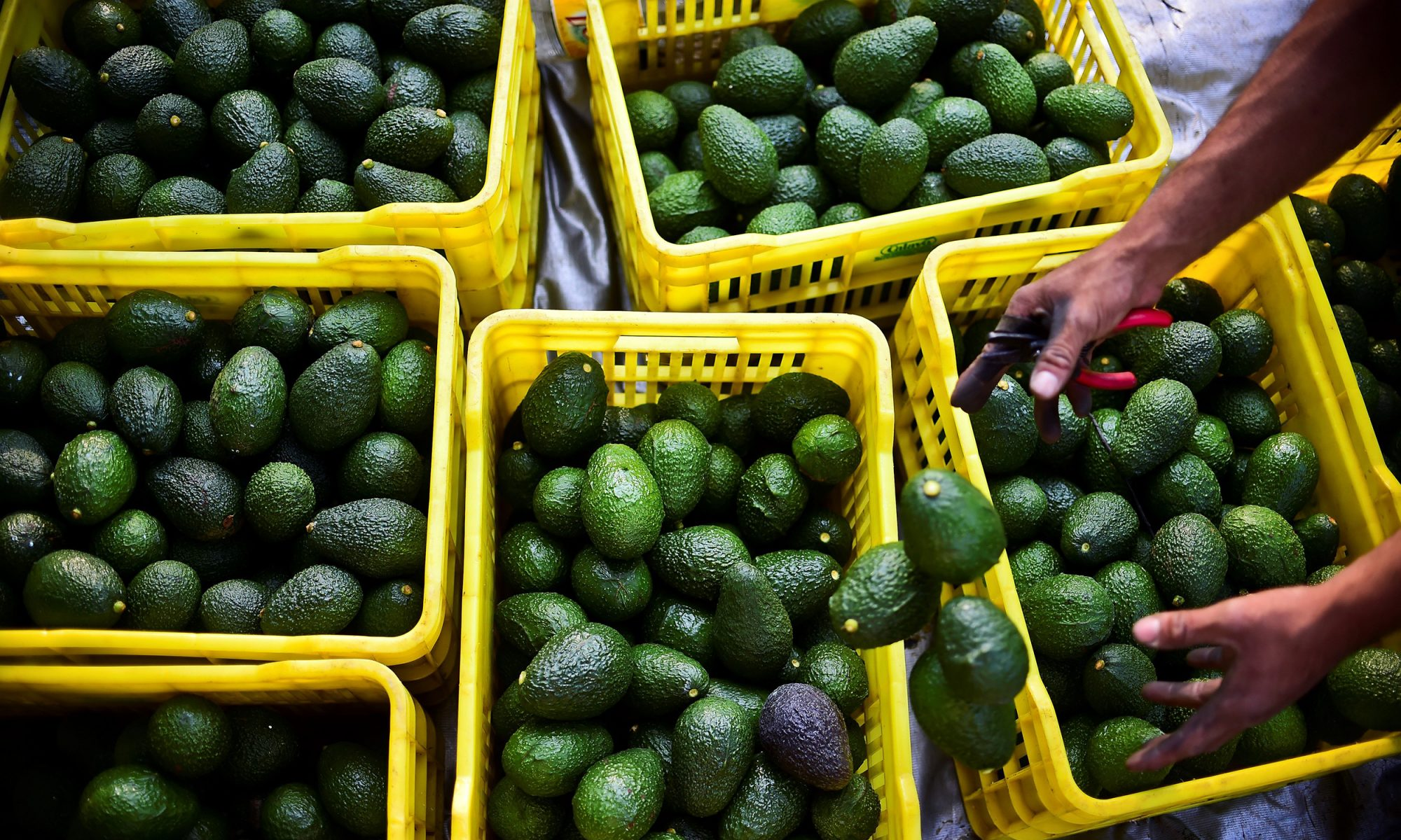 EC: The Avocado Shortage Will Mean Bad Things for Your Breakfast