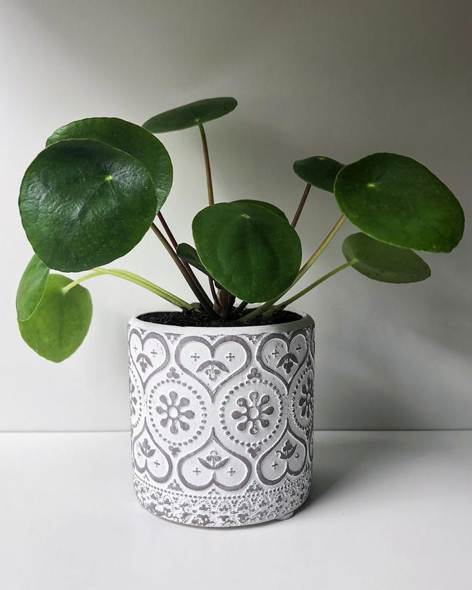 Feng Shui Office Pilea Peperomioides Plant