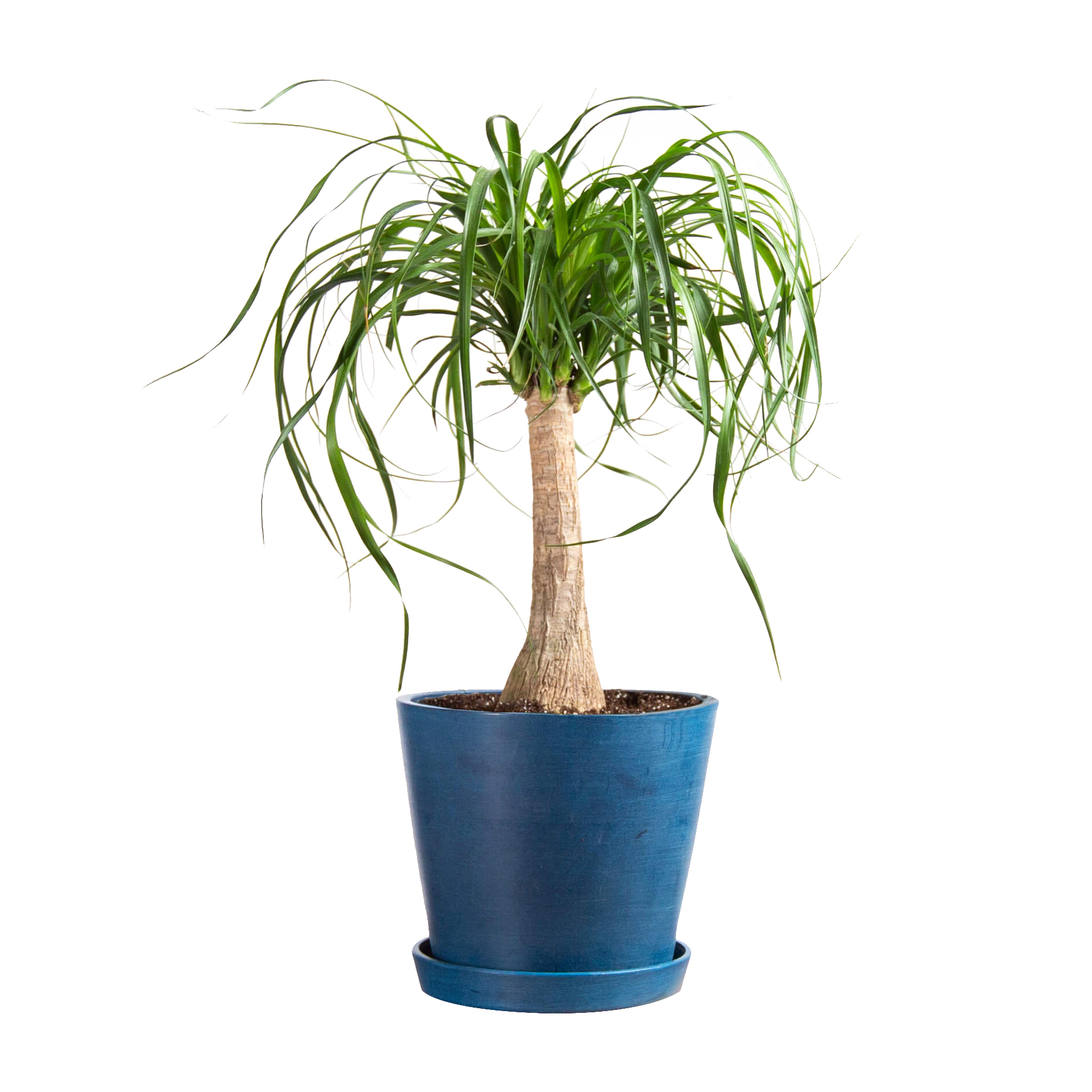 Best Christmas gifts 2019 - Bloomscape Ponytail Palm