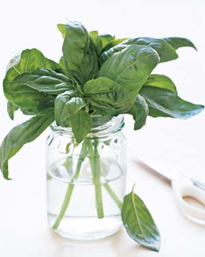Fresh basil in a jar