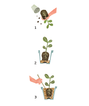 Illustration of repotting a plant