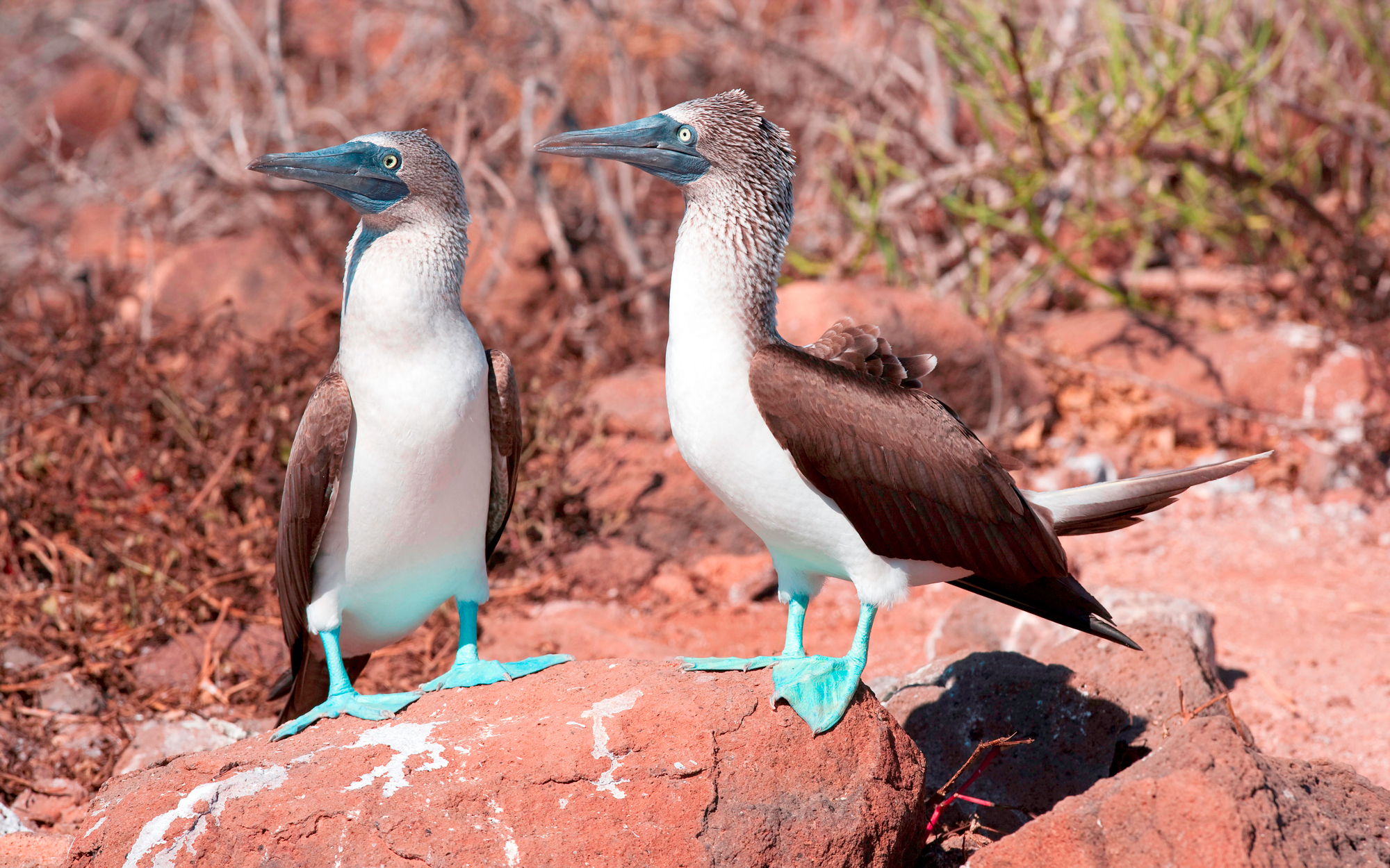 Blue-footed Booby Sula, Nebouxi, North Seymour Island Galapagos Islands
