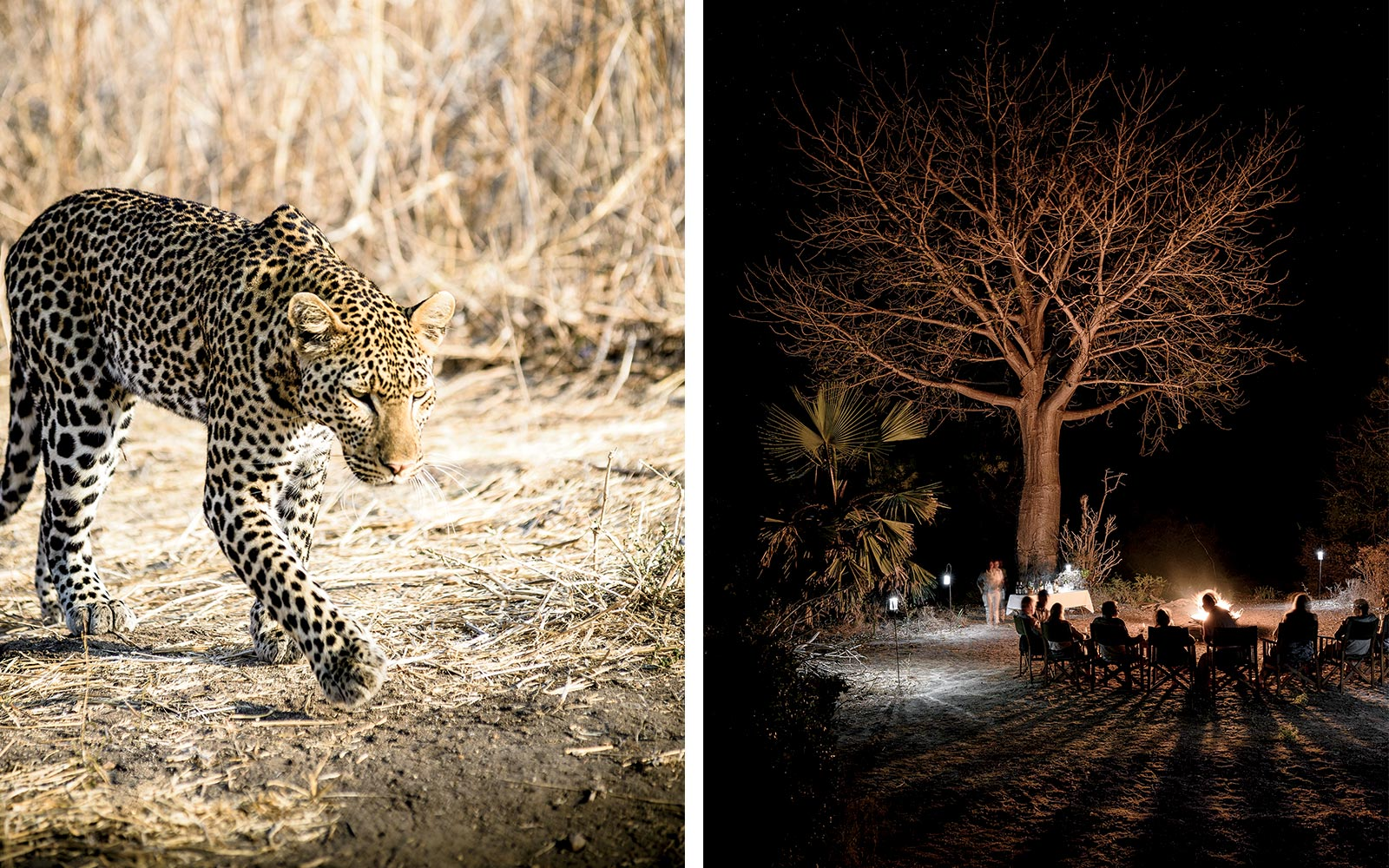 A leopard in Ruaha National Park, and a scene around the Roho ya Selous campfire