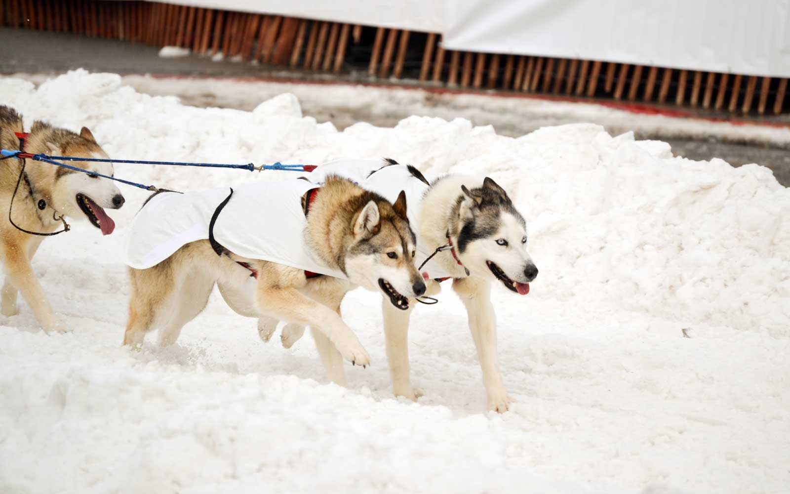 The ceremonial start of the Iditarod in downtown Anchorage, Alaska