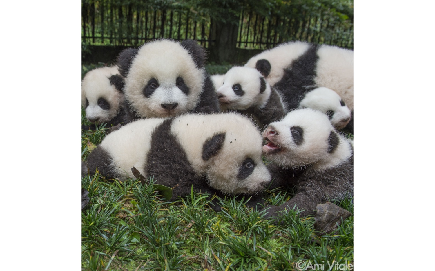 pandas from the book Panda Love by Ami Vitale