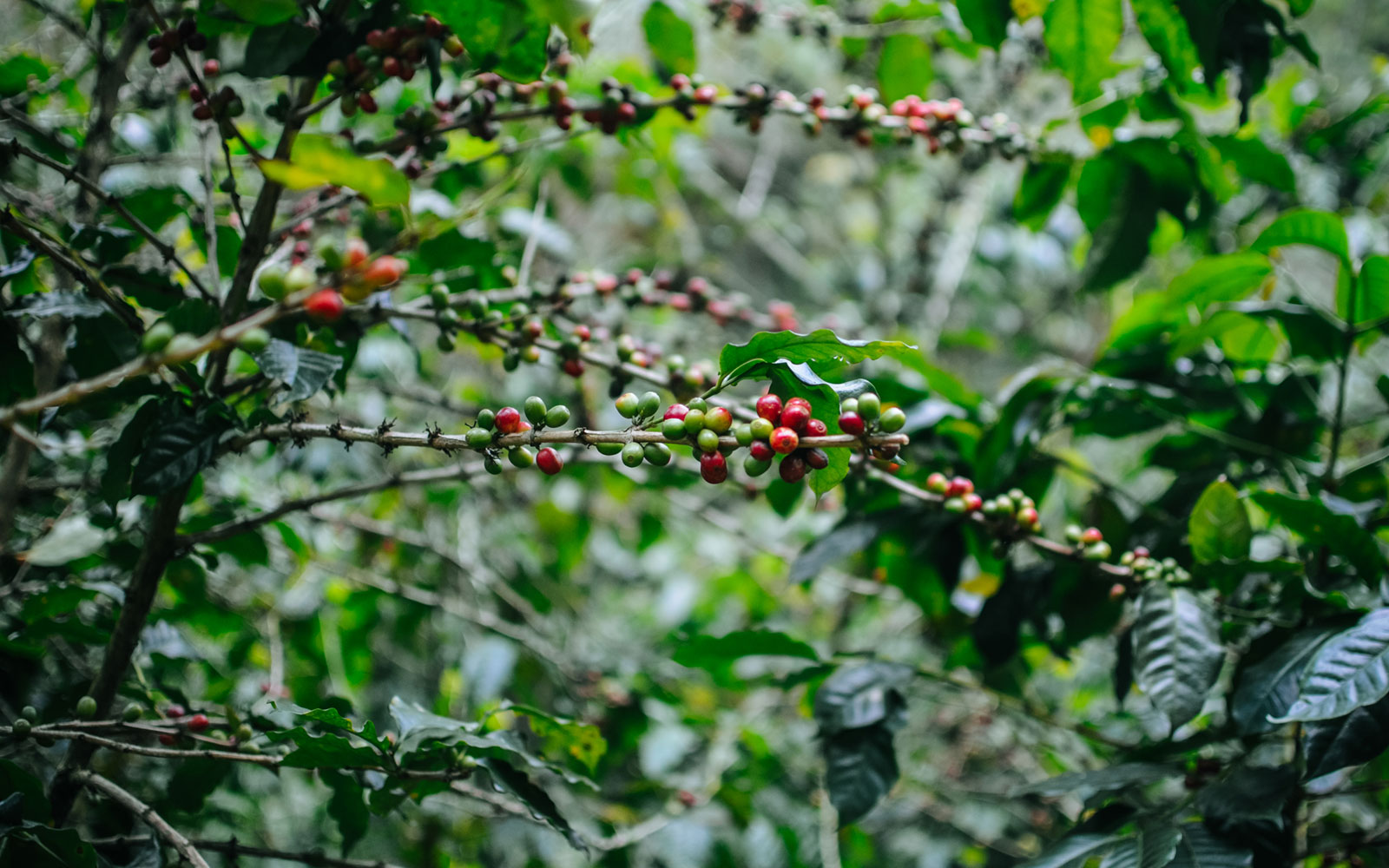 Coffee beans in Chiang Mai, Northern Thailand
