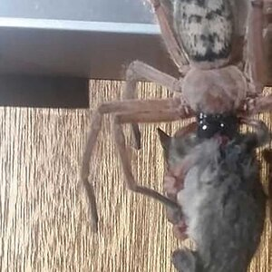 ee4ed5726d Huntsman Spider Found Feasting on Possum Inside Australian Ski Lodge,  Horrifying Guest