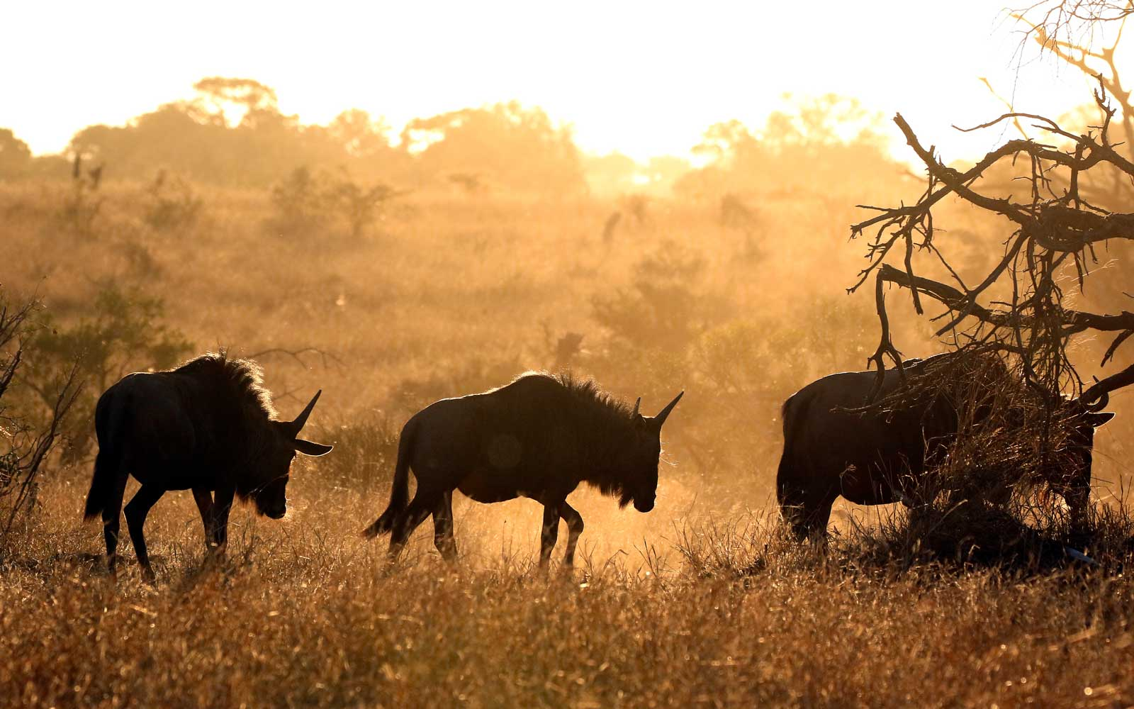 Wildebeasts in Kruger National Park