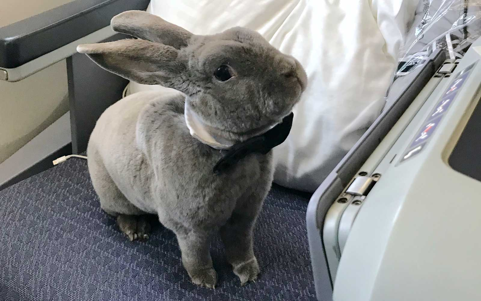Coco, the business class bunny, wears a bowtie while enjoying the plane.