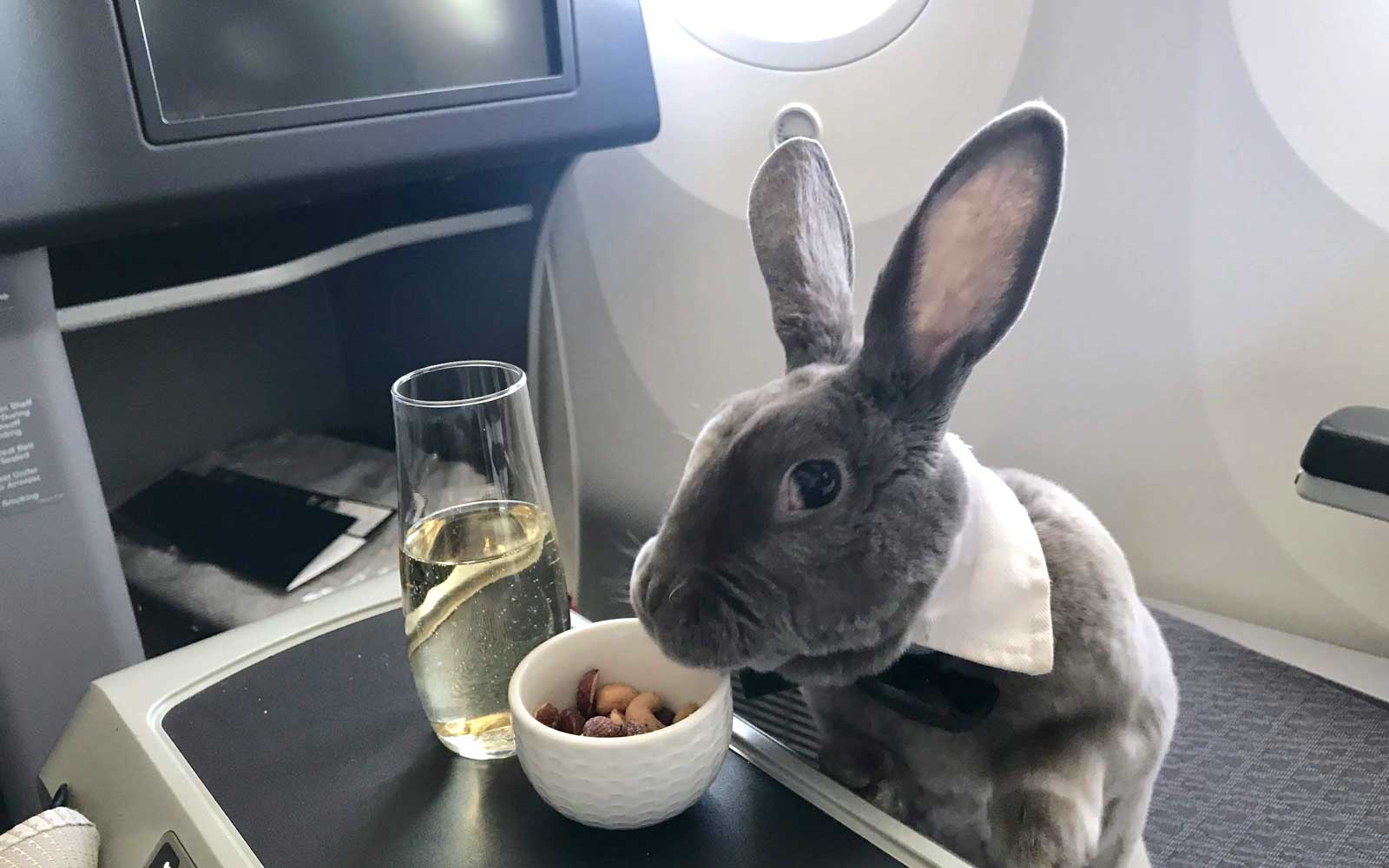Coco, the business class bunny, enjoys a snack of nuts and champagne on the plane.