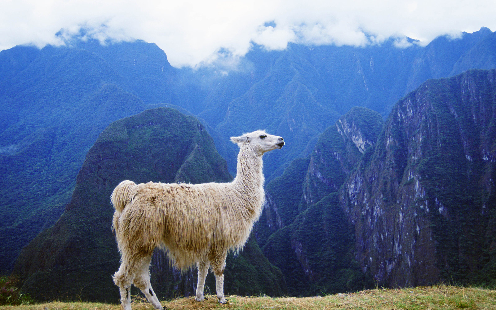 PERU - JULY 01:  Llama by Machu Picchu ruins of Inca citadel in Peru, South America  (Photo by Tim Graham/Getty Images)