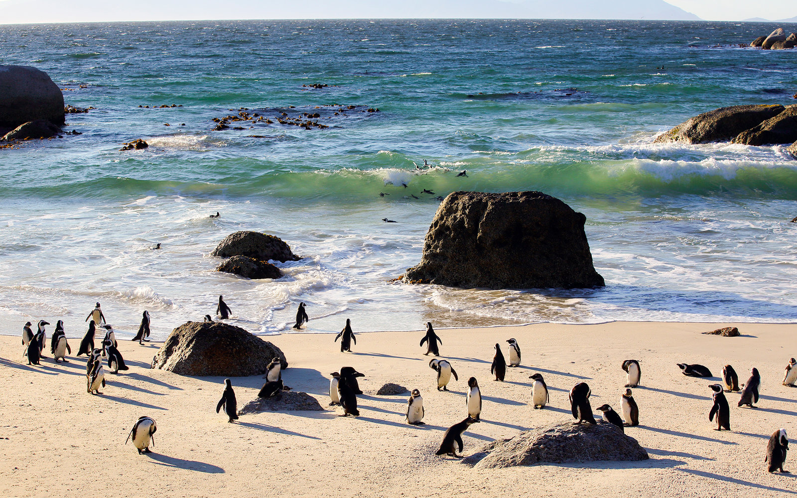 African penguins coming ashore after a swim