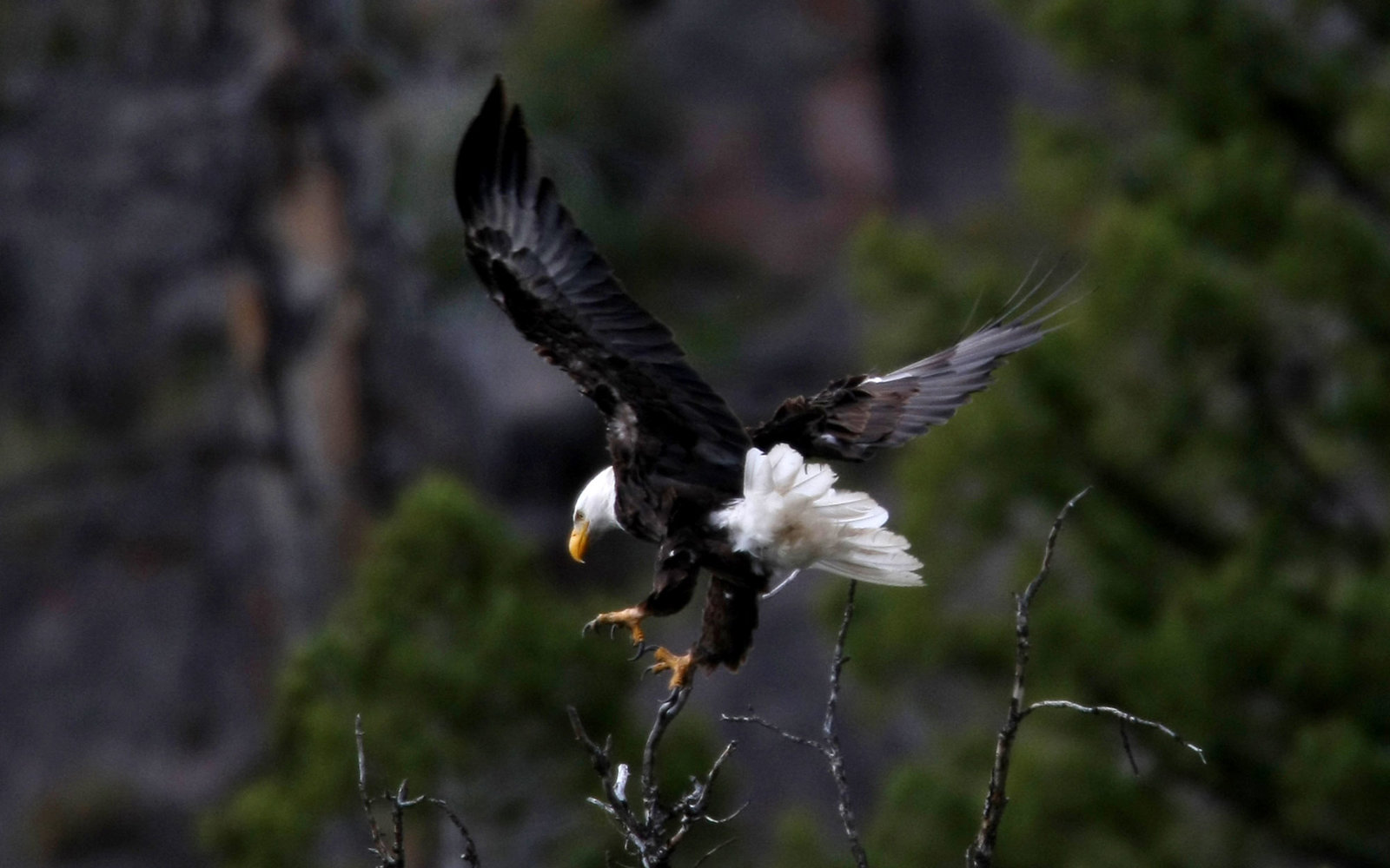 A bald eagle flies above the Madison River in Yellowstone National Park in Wyoming on August 12, 2009. National Park Service rangers are looking into the effects of climate change on the wildlife in the park.  (Photo by Anne Cusack/Los Angeles Times via G