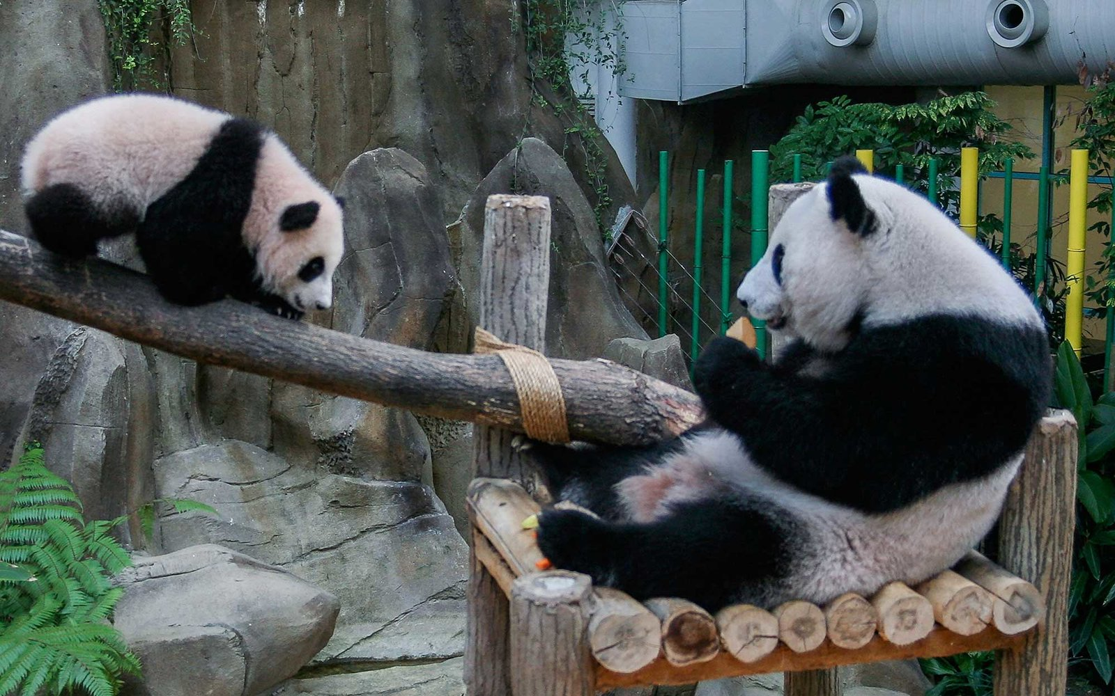 KUALA LUMPUR, MALAYSIA - APRIL 07:  Nuan Nuan, an eight month Panda cub born on August 1, 2015, plays near it's mother, Liang Liang, during the announcement of its name at the National Zoo on April 7, 2016 in Kuala Lumpur, Malaysia. Natural Resources and