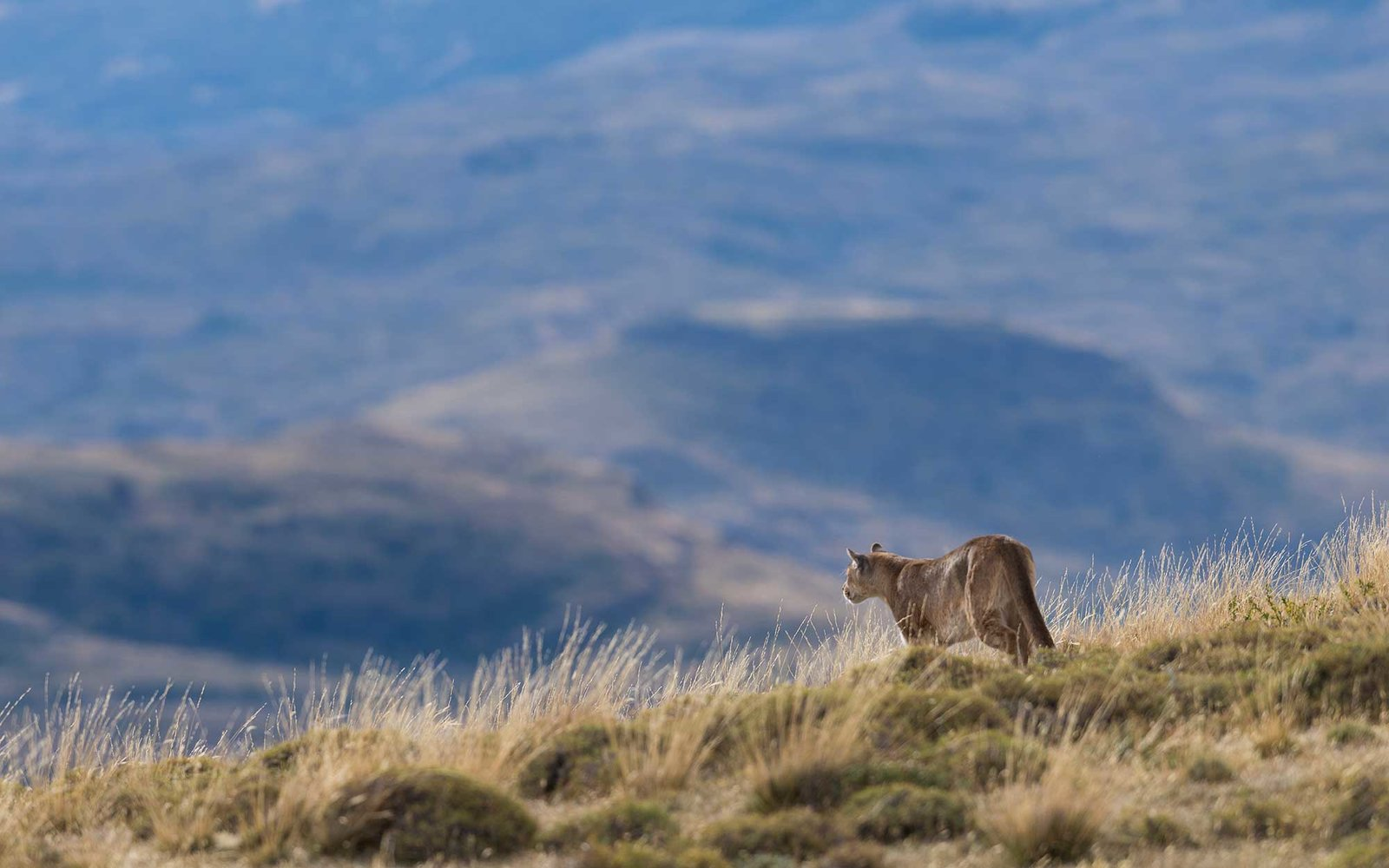 Wild puma stalking guanaco's in Torres del Paine National Park, Chile.
