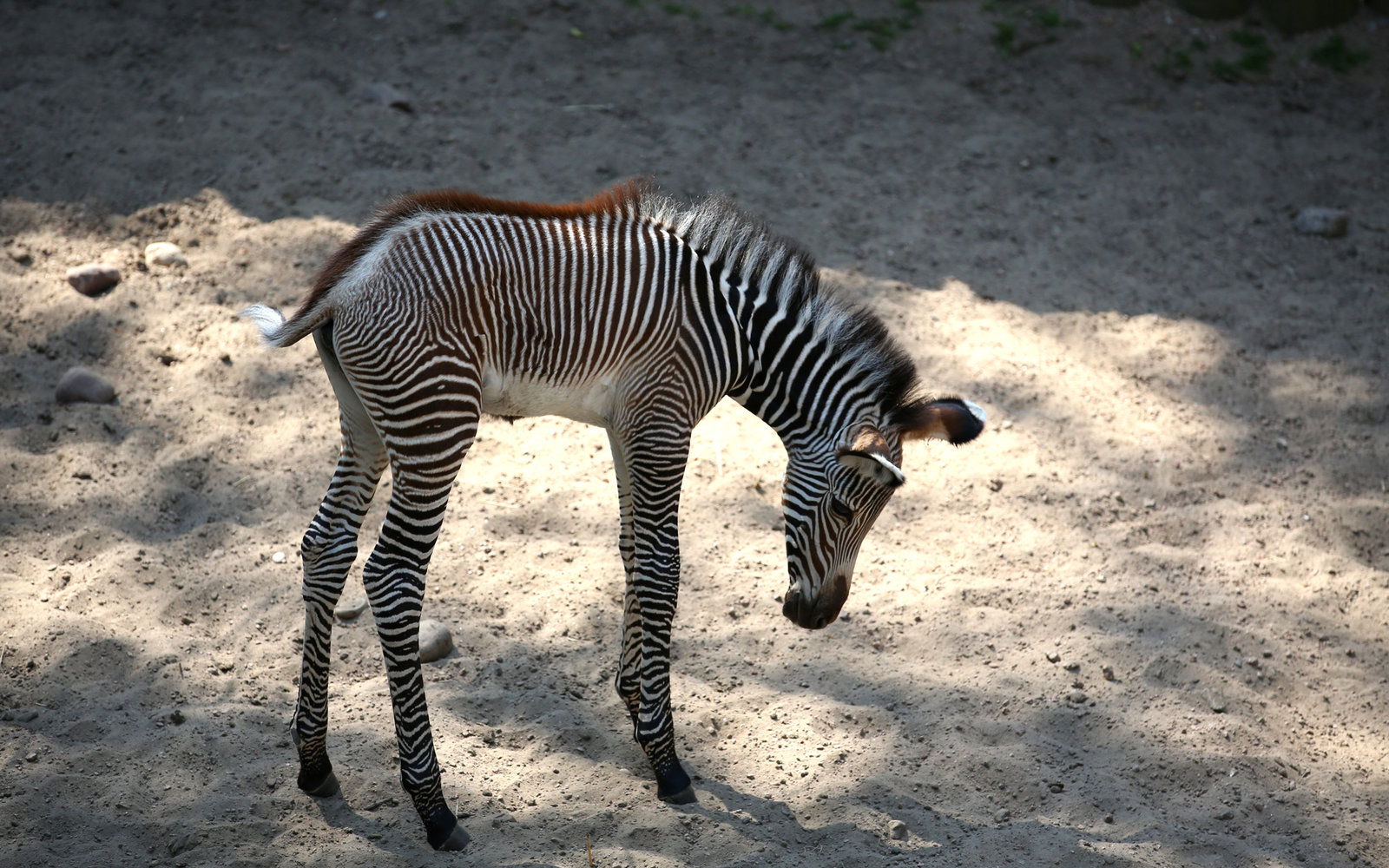 Lincoln Park Zoo Chicago Baby Zebra