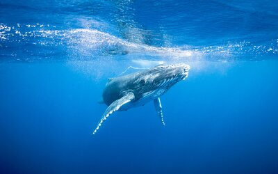 161b1b8f2ae2 Snorkelers get up close and personal with a humpback whale