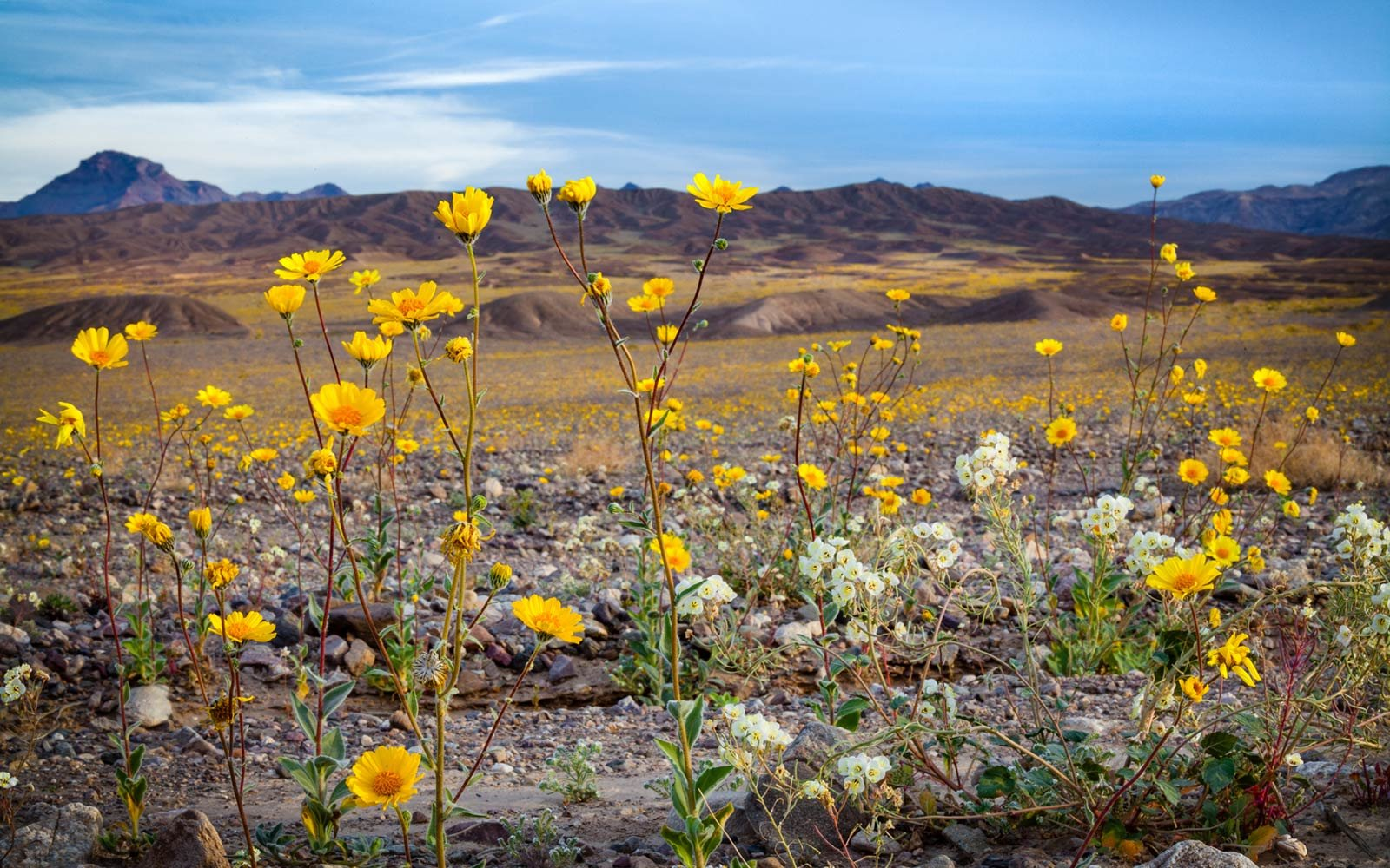 Gold Wildflowers, Super Boom, Spring 2016, Death Valley National Park
