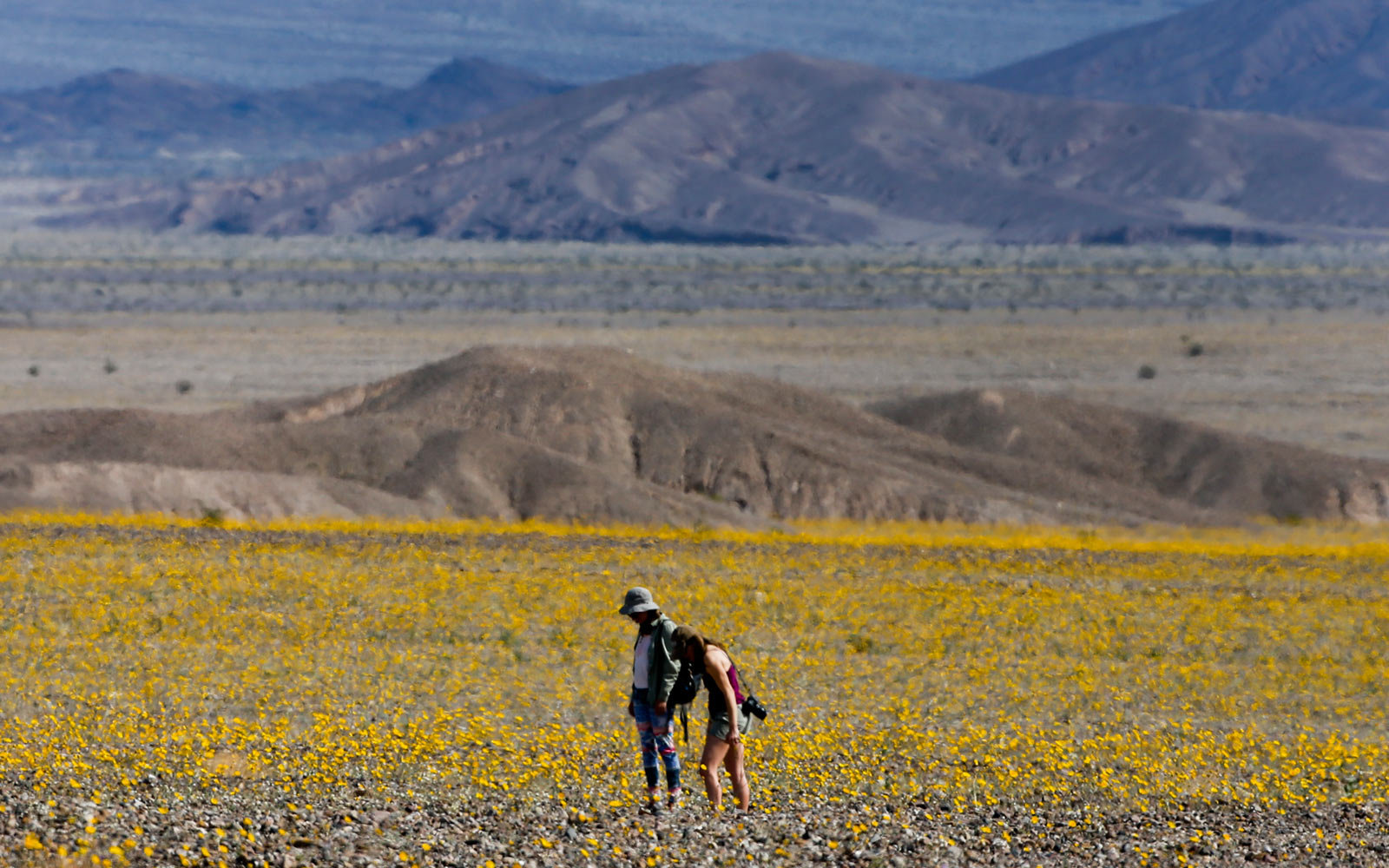 March 2016, Death Valley National Park, Wildflowers, Super Bloom