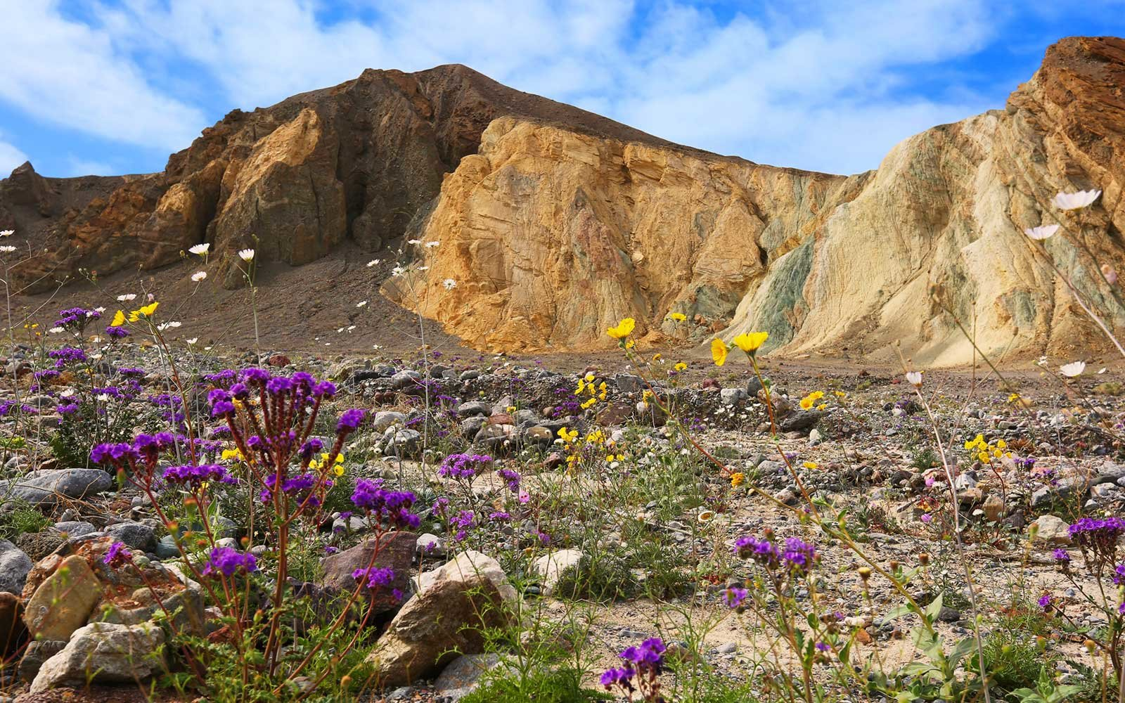 Wildflowers, Riverbed, Super Bloom, Spring 2016, Death Valley National Park, February 2016
