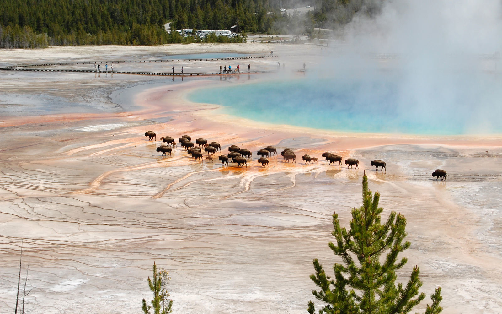 Bison, Midway Geyser Basin, Yellowstone National Park, Wyoming