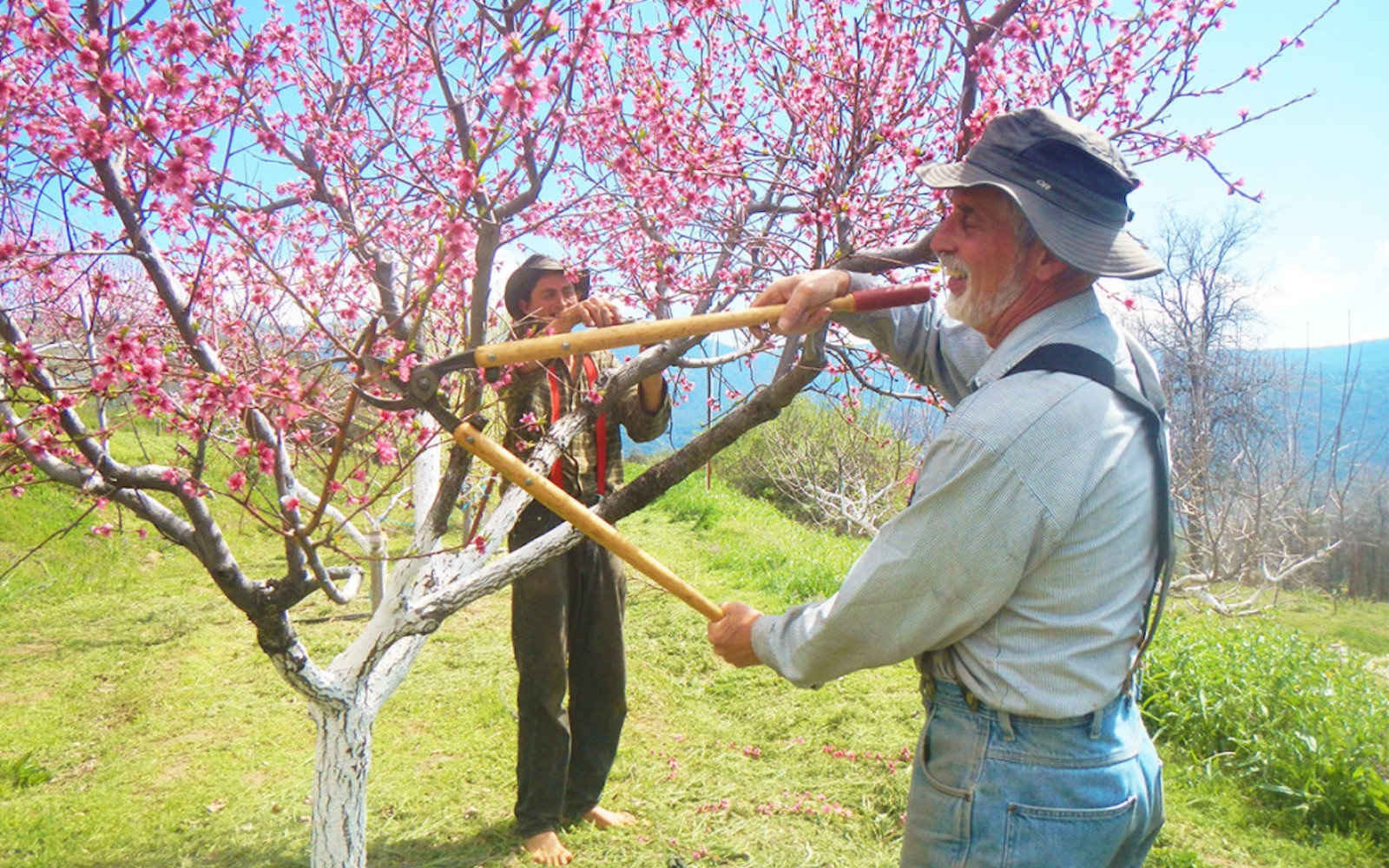 Farmer tends to a tree on Kern Farms in North Fork, California