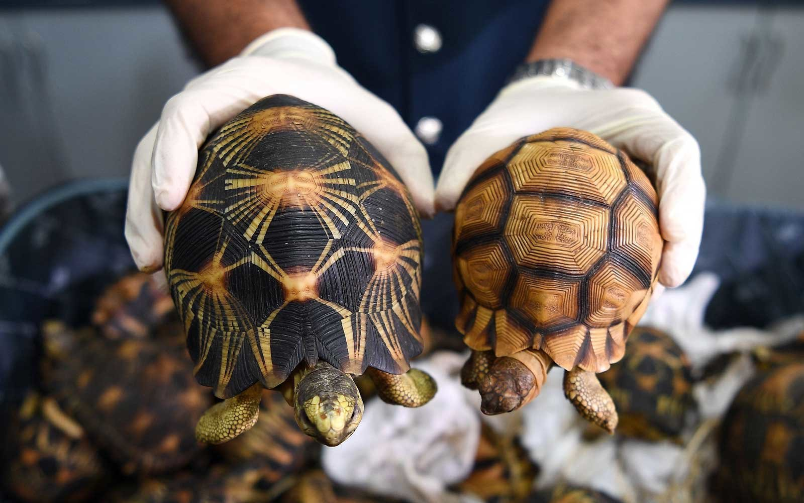 Tortoise Smuggling From Madagascar to Malaysia